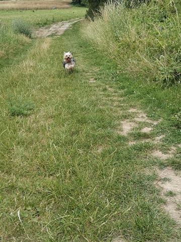 Oréo mon pitre ( Yorkshire terrier) - Page 4 10634211