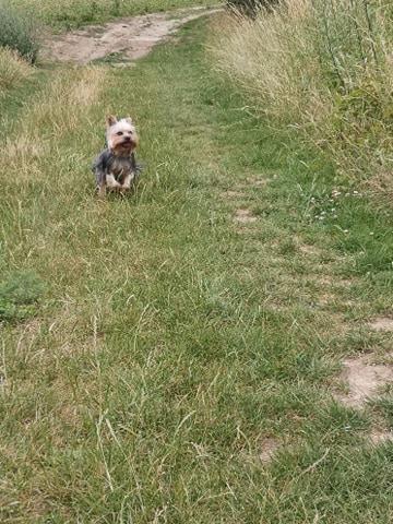 Oréo mon pitre ( Yorkshire terrier) - Page 4 10639811