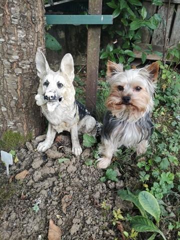 Oréo mon pitre ( Yorkshire terrier) - Page 4 10641811