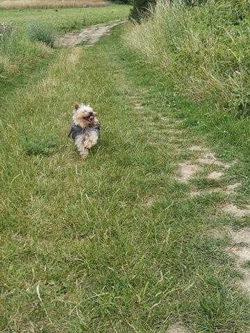 Oréo mon pitre ( Yorkshire terrier) - Page 4 10663611