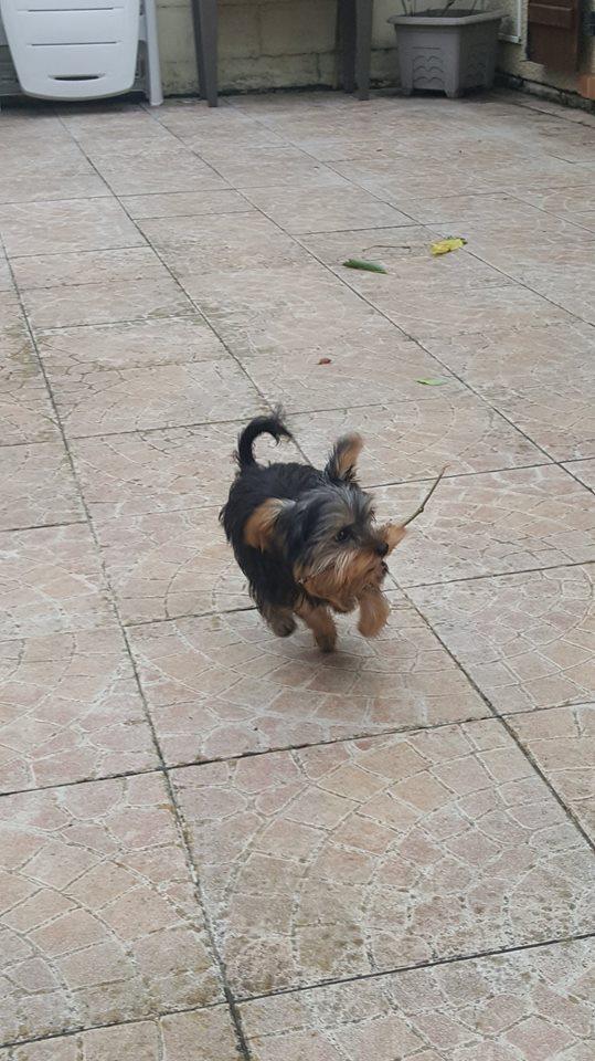 "Oréo Mon petit "" Microbe^^"" ( Yorkshire Terrier ) - Page 2 35144010"
