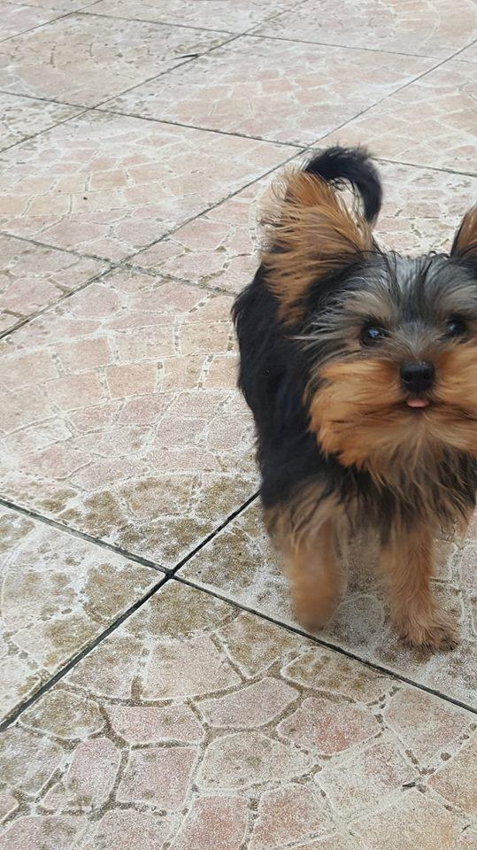 "Oréo Mon petit "" Microbe^^"" ( Yorkshire Terrier ) - Page 2 35188910"