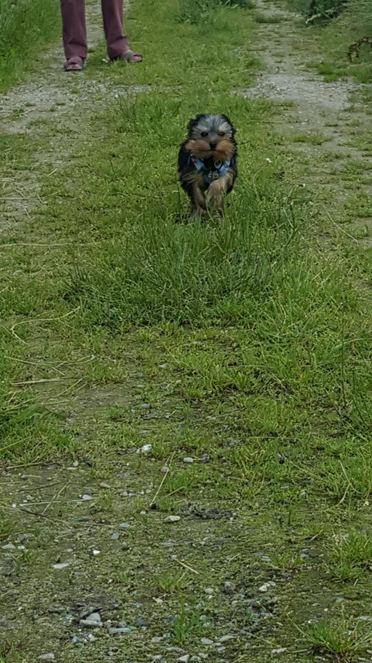 "Oréo Mon petit "" Microbe^^"" ( Yorkshire Terrier ) - Page 2 35358610"