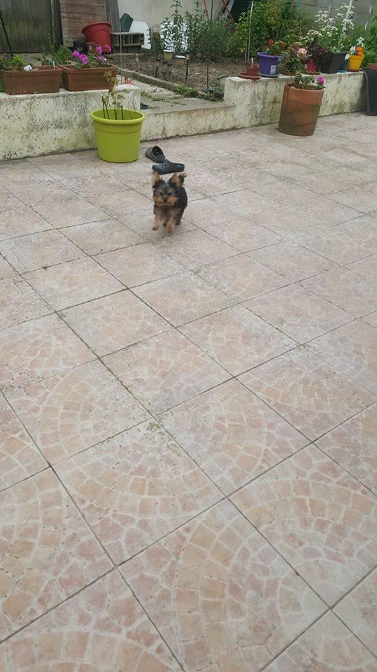 "Oréo Mon petit "" Microbe^^"" ( Yorkshire Terrier ) - Page 2 35439710"
