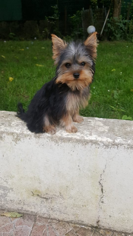 "OREO Ma "" petite souris "" lol ( Yorkshire Terrier) :) - Page 3 35509210"