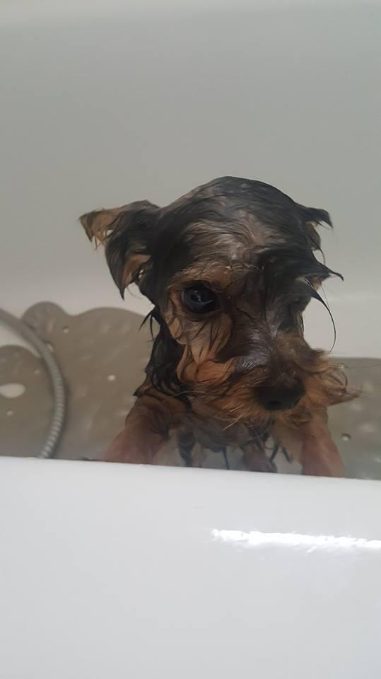 "OREO Ma "" petite souris "" lol ( Yorkshire Terrier) :) - Page 3 35550010"