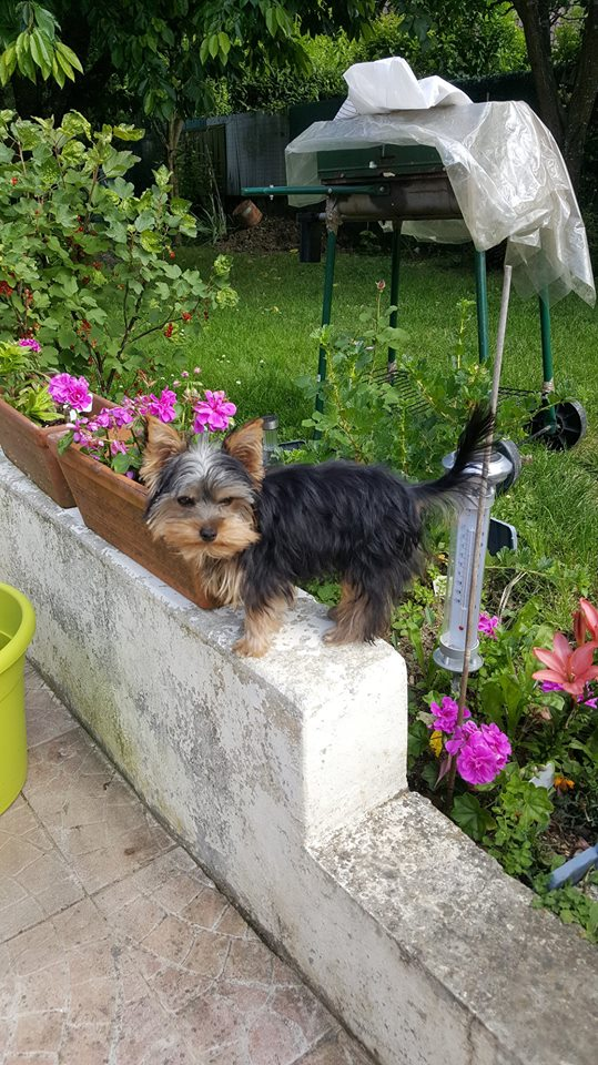 "OREO Ma "" petite souris "" lol ( Yorkshire Terrier) :) - Page 3 35701511"
