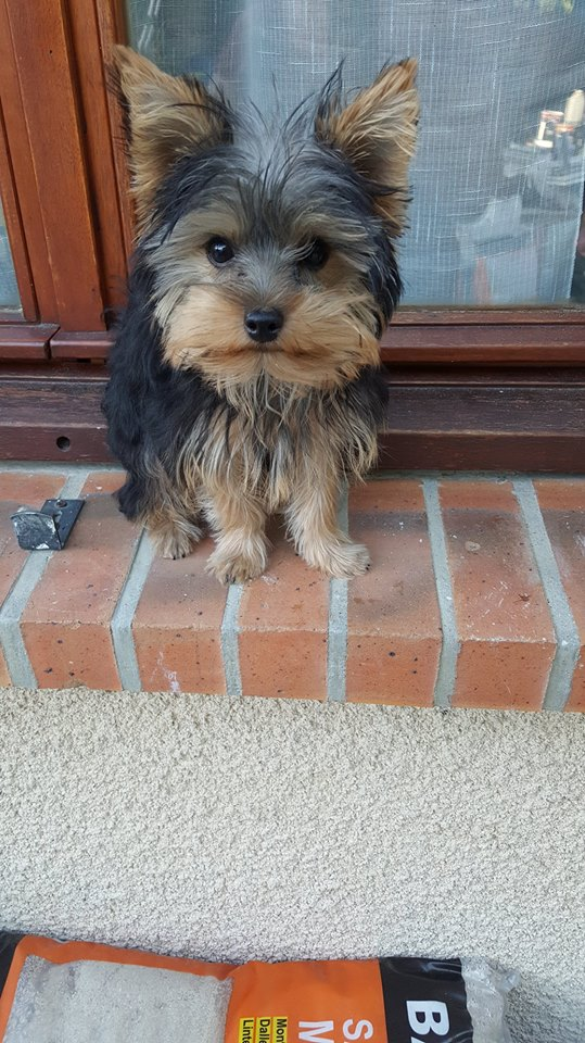"OREO Ma "" petite souris "" lol ( Yorkshire Terrier) :) - Page 3 35812511"