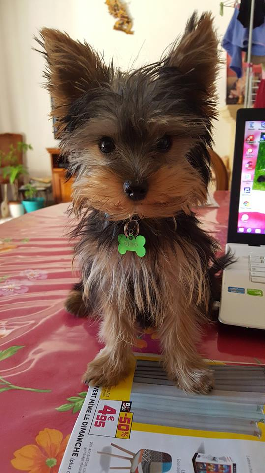 "OREO Ma "" petite souris "" lol ( Yorkshire Terrier) :) - Page 4 35963413"