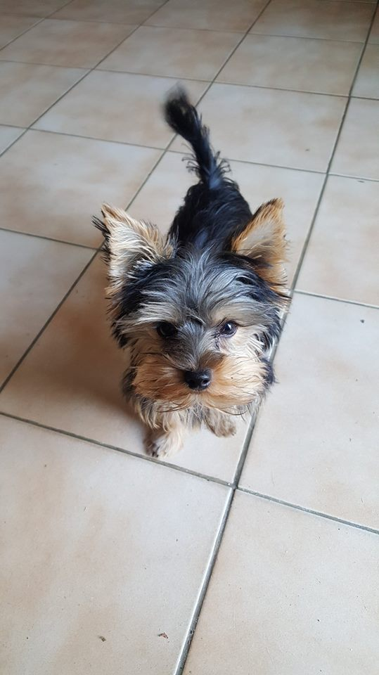 "OREO Ma "" petite souris "" lol ( Yorkshire Terrier) :) - Page 3 36063111"