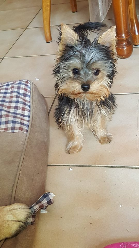 "OREO Ma "" petite souris "" lol ( Yorkshire Terrier) :) - Page 4 36188511"