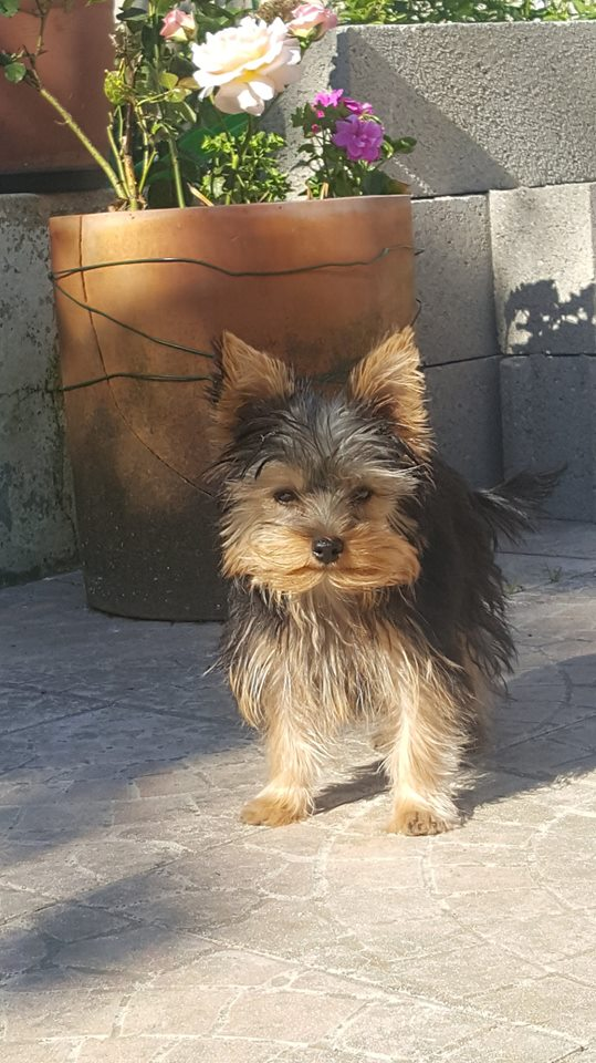 "OREO Ma "" petite souris "" lol ( Yorkshire Terrier) :) - Page 4 36267211"