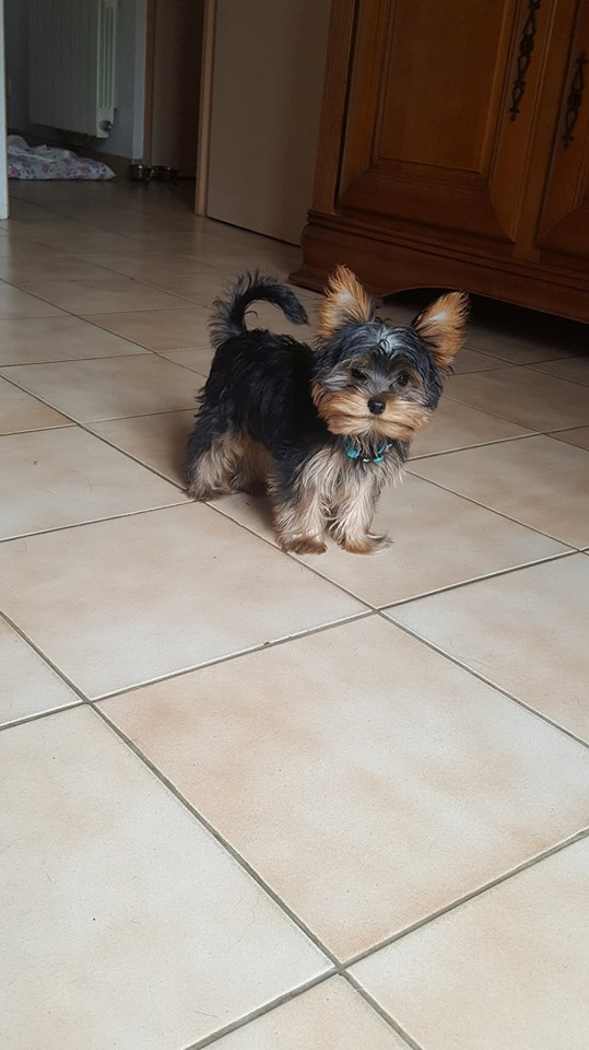"OREO Ma "" petite souris "" lol ( Yorkshire Terrier) :) - Page 4 36290211"