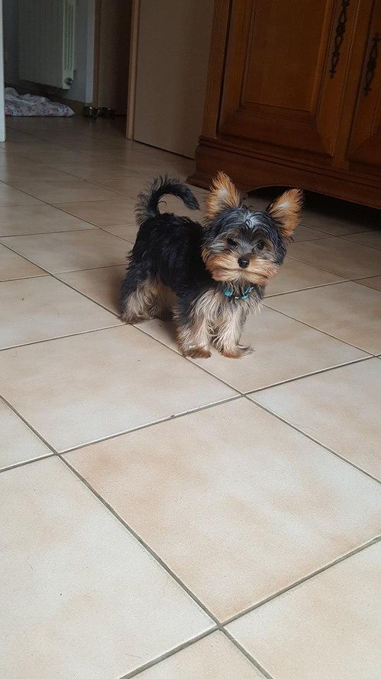 OREO (Yorkshire terrier )  36290218