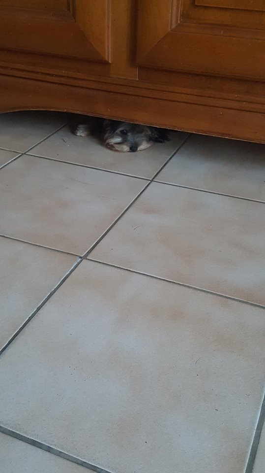 "Oréo Mon petit "" Microbe^^"" ( Yorkshire Terrier ) - Page 4 36347710"