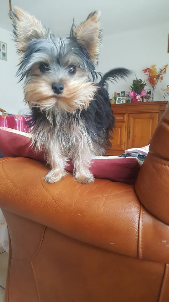 "OREO Ma "" petite souris "" lol ( Yorkshire Terrier) :) - Page 4 36389614"