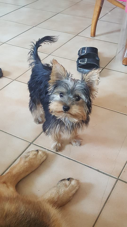 "OREO Ma "" petite souris "" lol ( Yorkshire Terrier) :) - Page 4 36394513"