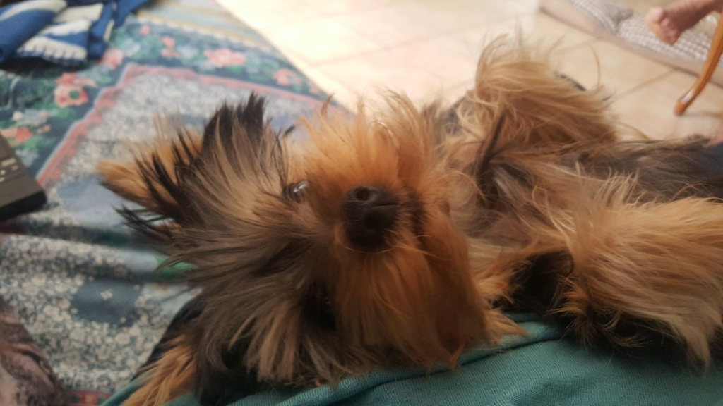 "OREO Ma "" petite souris "" lol ( Yorkshire Terrier) :) - Page 4 36559110"