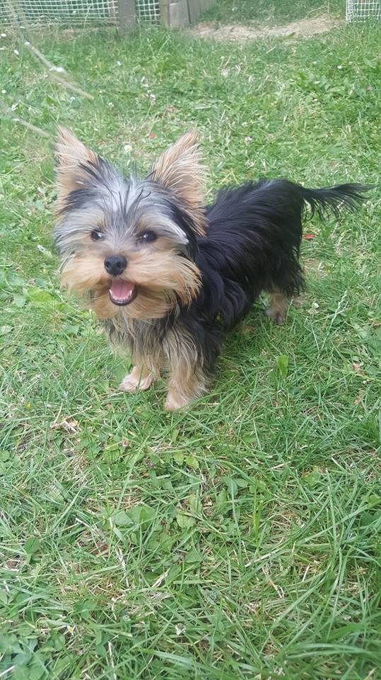 "OREO Ma "" petite souris "" lol ( Yorkshire Terrier) :) - Page 4 36658012"