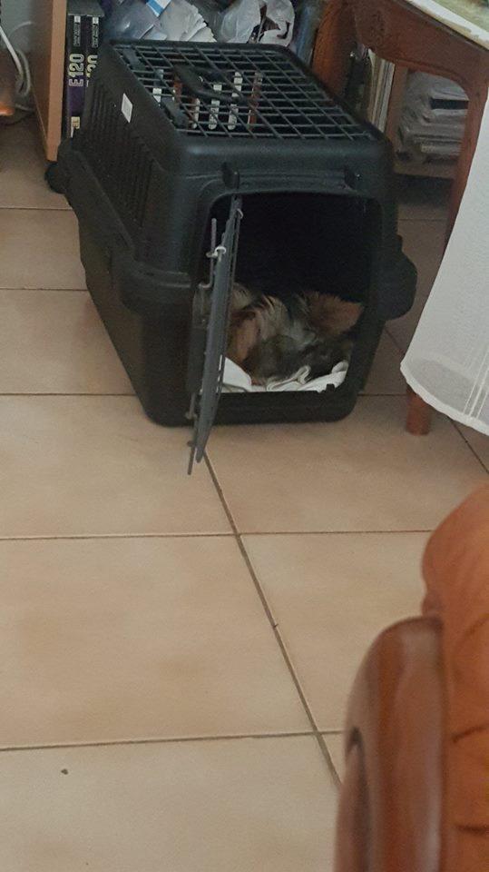 "Oréo Mon petit "" Microbe^^"" ( Yorkshire Terrier ) - Page 5 36713611"