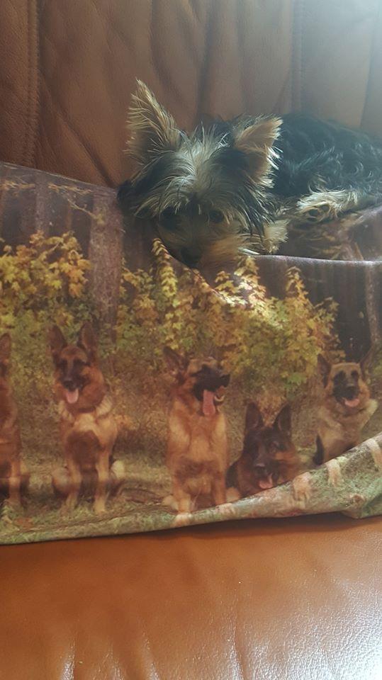 "Oréo Mon petit "" Microbe^^"" ( Yorkshire Terrier ) - Page 5 36745611"