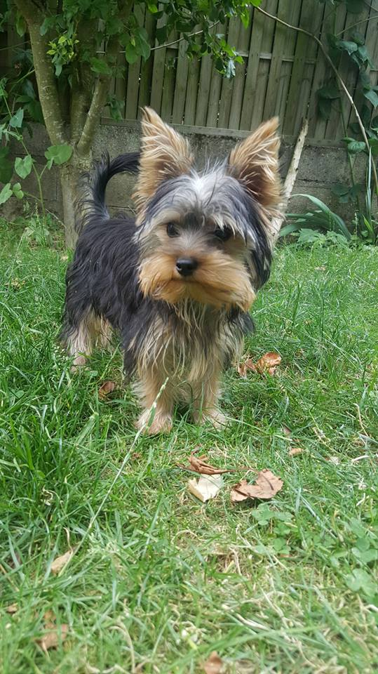 "Oréo Mon petit "" Microbe^^"" ( Yorkshire Terrier ) - Page 5 36843210"