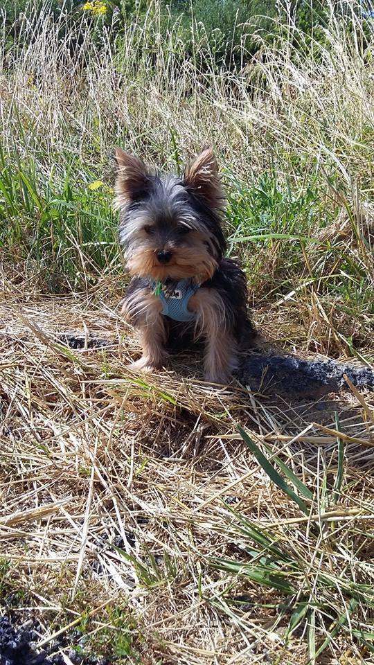 "Oréo Mon petit "" Microbe^^"" ( Yorkshire Terrier ) - Page 5 36867510"