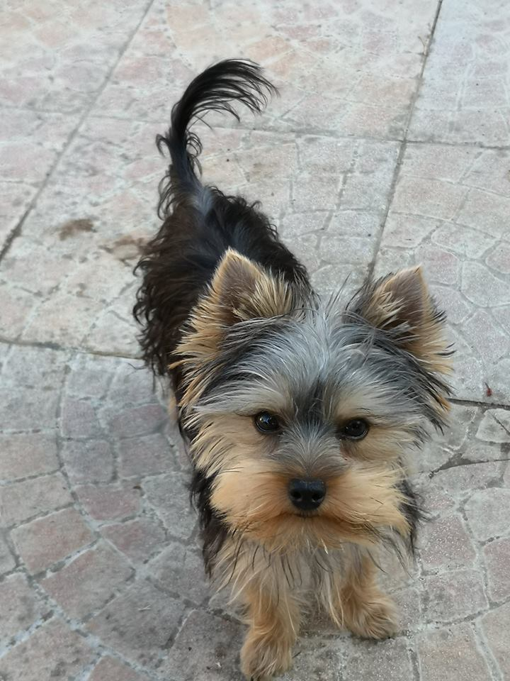 "OREO Ma "" petite souris "" lol ( Yorkshire Terrier) :) - Page 5 37902210"