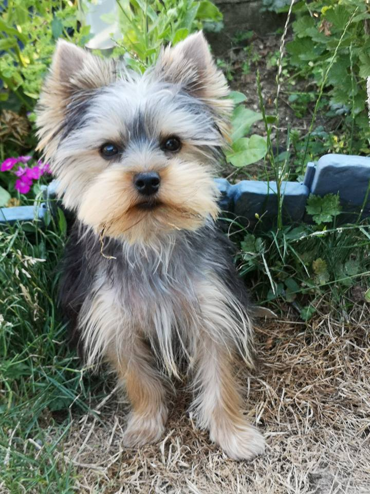 "OREO Ma "" petite souris "" lol ( Yorkshire Terrier) :) - Page 5 37918110"