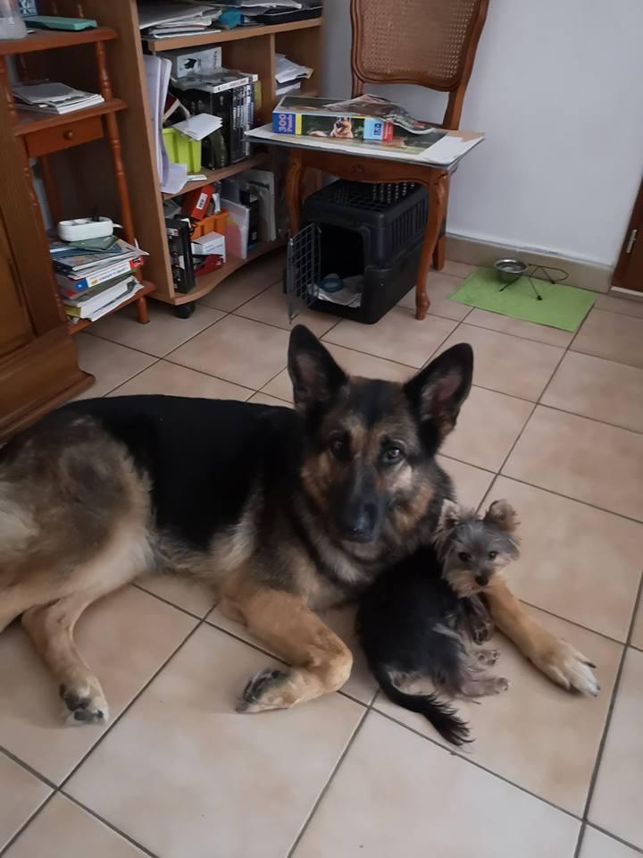 OREO (Yorkshire terrier )  38651710