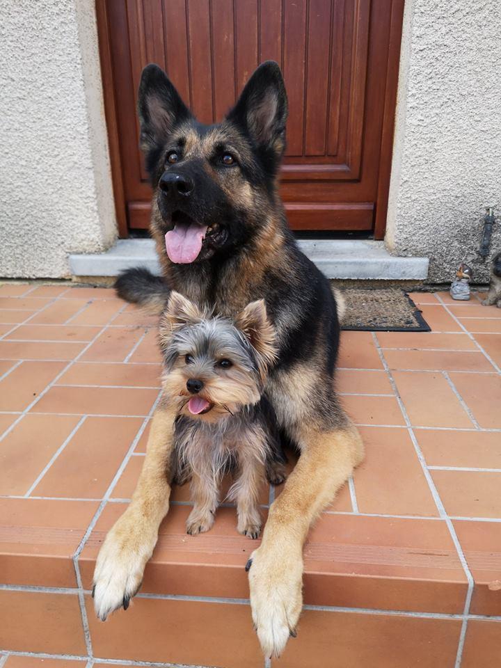 OREO (Yorkshire terrier )  38676810