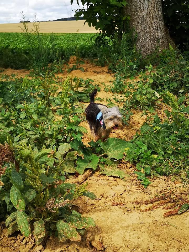 OREO (Yorkshire terrier )  39996611