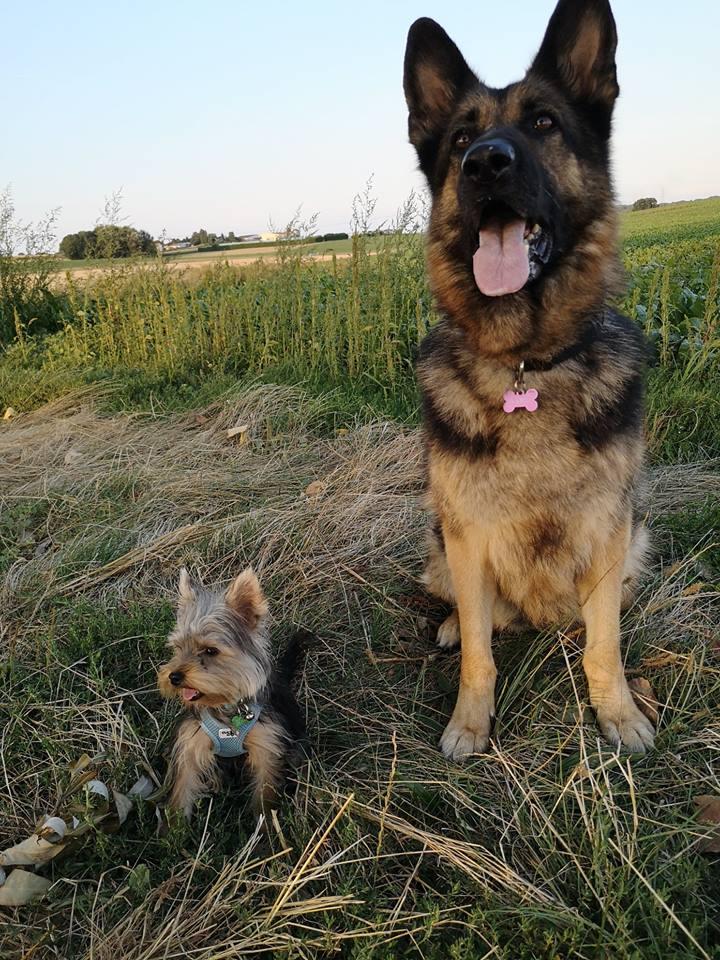 OREO (Yorkshire terrier )  39998615