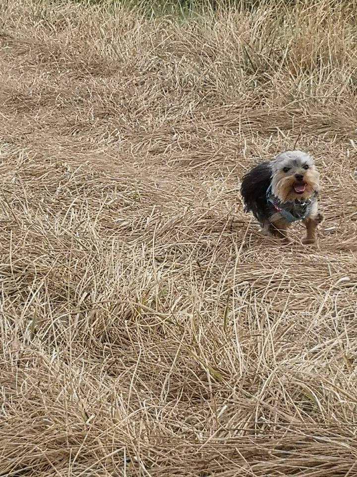 OREO (Yorkshire terrier )  40002121