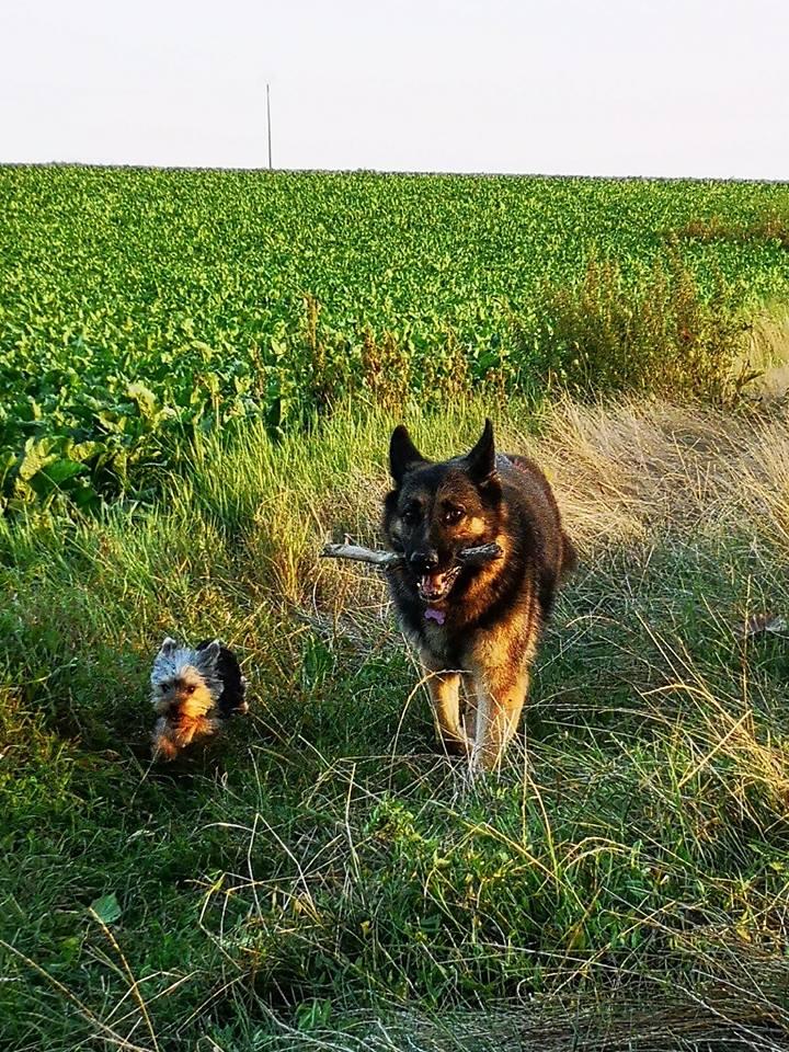 OREO (Yorkshire terrier )  40012715