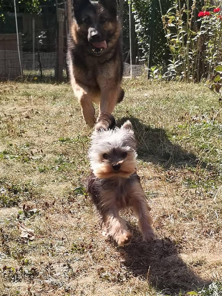 OREO (Yorkshire terrier )  40248416