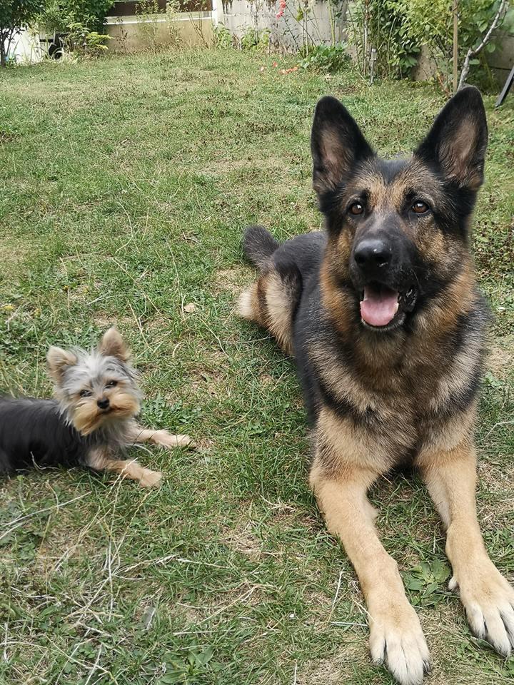 OREO (Yorkshire terrier )  40337613