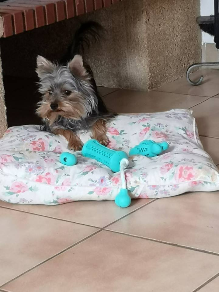 OREO (Yorkshire terrier )  - Page 2 42555311
