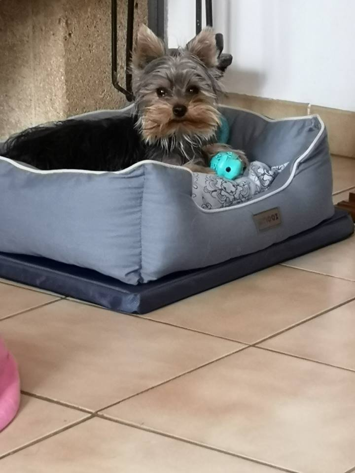 OREO (Yorkshire terrier )  - Page 2 42619711