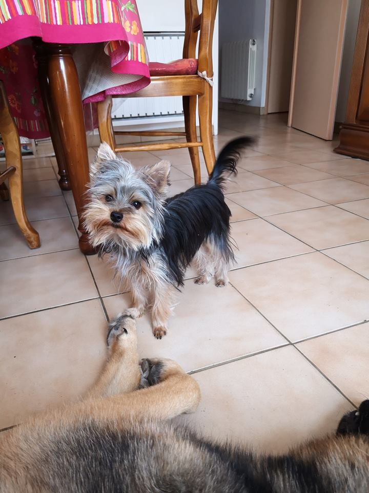 OREO (Yorkshire terrier )  - Page 2 42761211