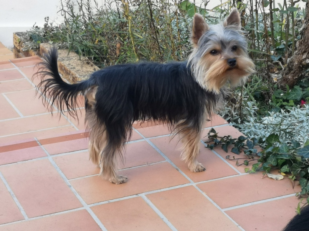 OREO (Yorkshire terrier )  - Page 2 44173710