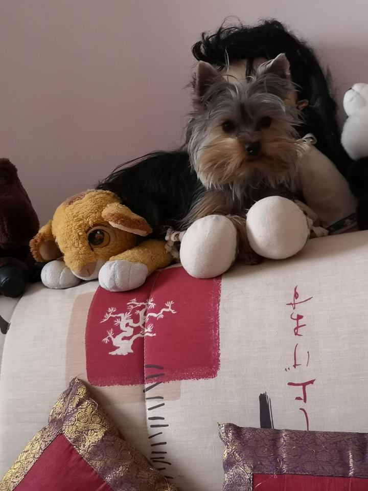 OREO (Yorkshire terrier )  - Page 3 44886010