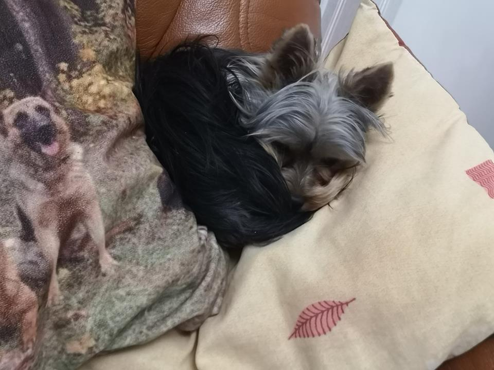 OREO (Yorkshire terrier )  - Page 3 45482512