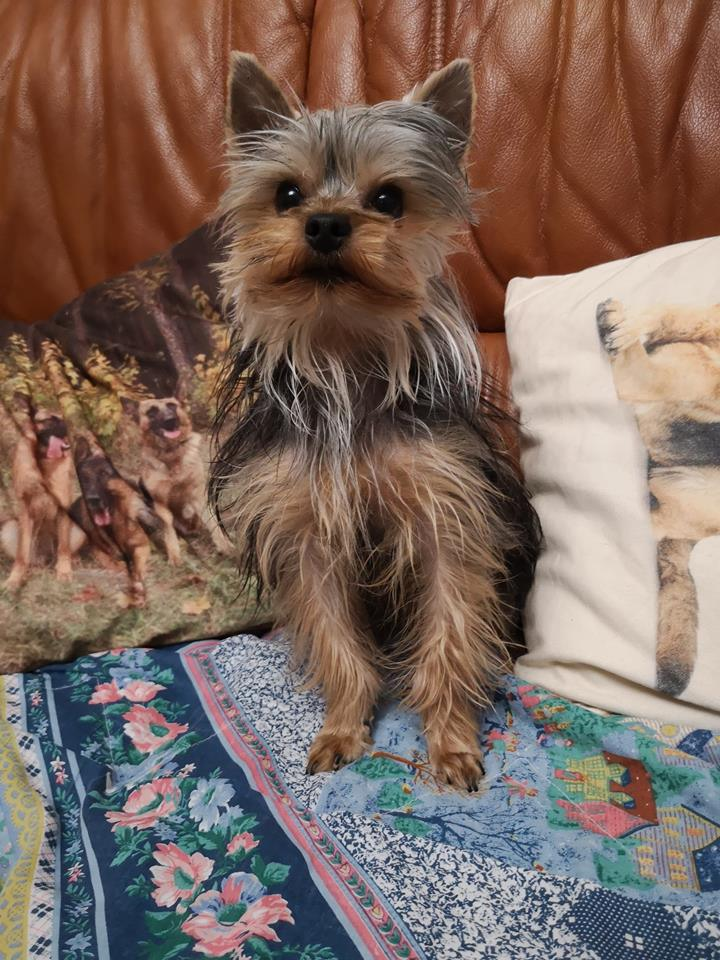 OREO (Yorkshire terrier )  - Page 3 46480612