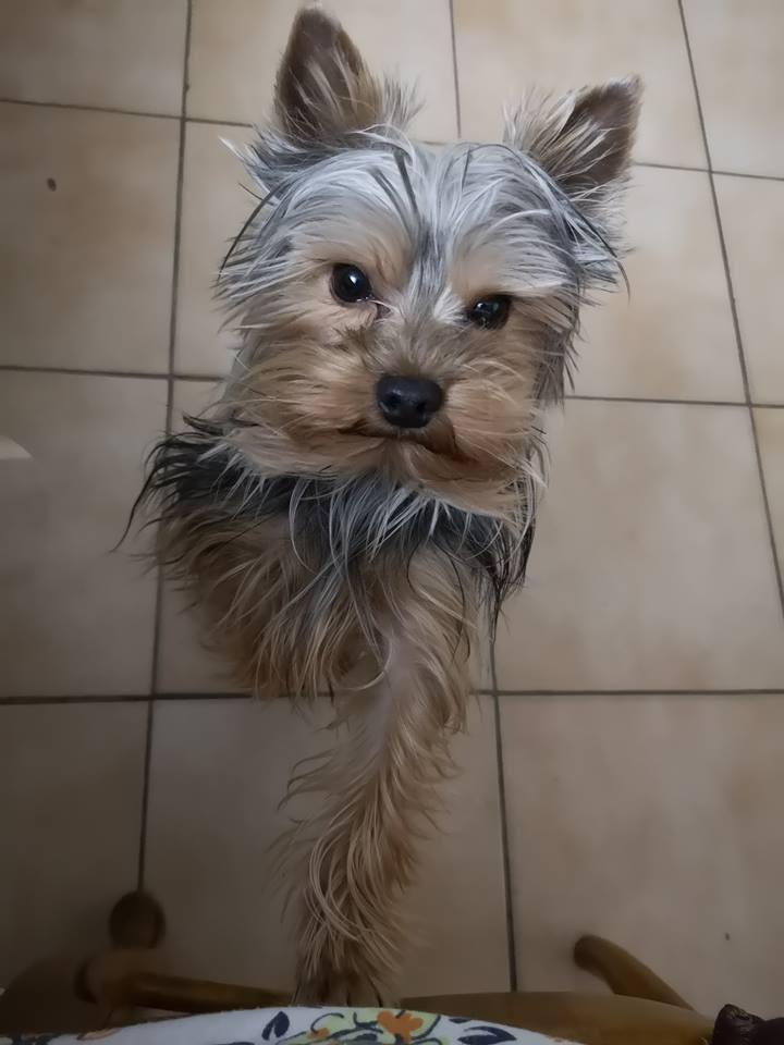 Oréo mon pitre ( Yorkshire terrier) 51109412