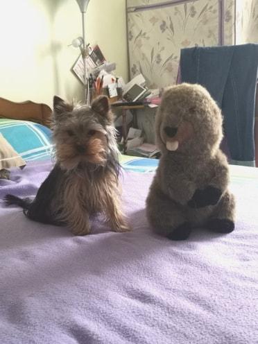 Oréo mon pitre ( Yorkshire terrier) 51526211