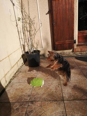 Oréo mon pitre ( Yorkshire terrier) 52033912