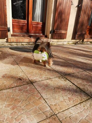 Oréo mon pitre ( Yorkshire terrier) 52596313