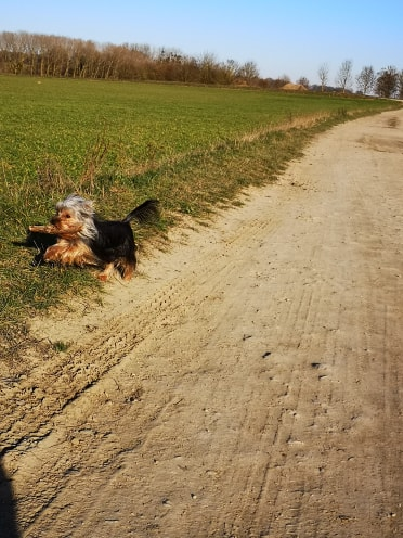 Oréo mon pitre ( Yorkshire terrier) - Page 2 52646411