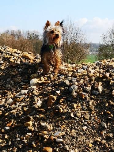Oréo mon pitre ( Yorkshire terrier) - Page 2 53519611